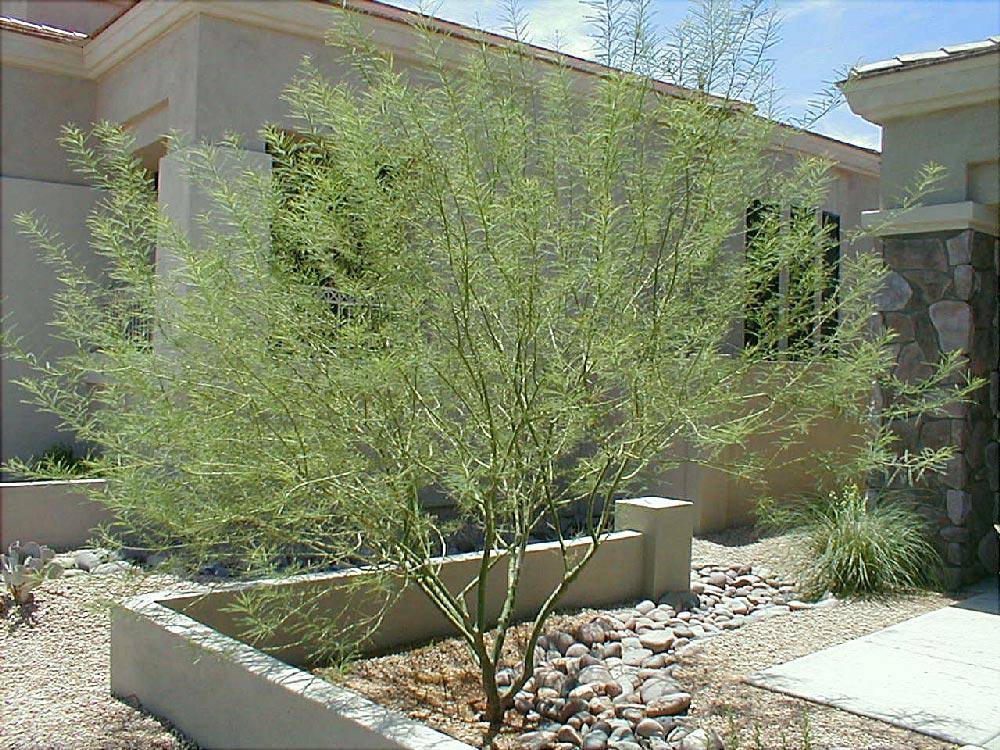 Andersen Land Concepts Nursery Desert Trees